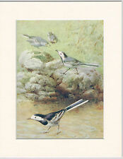 Pied-Wagtails & Young Mounted 1930s Bird Print Black Cream or White Mounts
