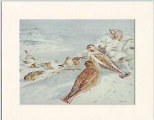 Snow Buntings Mounted 1930s Bird Print Black Cream or White Mounts
