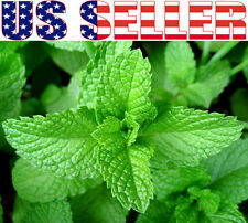 200+ ORGANIC Peppermint Seeds Herb Heirloom NON-GMO Perennial Easy to Grow