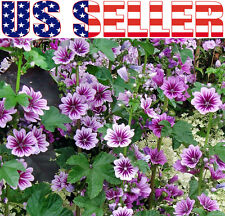 30+ Zebrina Malva Hollyhock Seeds Perennial Purple Flower Blooms Heavily  Pink