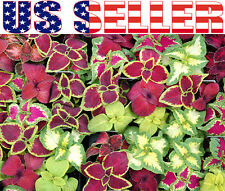 300+ Coleus Floral Strain Rainbow Mix Seeds Heirloom Decorative Foliage Vivid