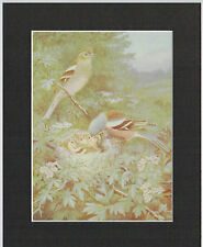 Cock Chaffinch - Mounted 1930's Vintage Bird Print by H. Goodchild Black