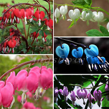 30Pcs Perennial Herbs Dicentra Spectabilis Flower Plant Bleeding Heart Seeds New