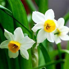 100x Daffodil Narcissus Flower Bonsai Seeds Home Garden Plant Decor