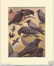 Rook, Raven, Hybrid Crow, Carrion Crow, Hooded Crow - Mounted Bird Print #986041