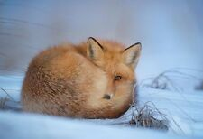 Red Fox Hiding From The Cold - Animal Poster Print - Wildlife Photo - Wall Art