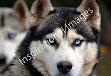 Purebred Siberian Husky Portrait - Animal Poster Print - Dog Photo - Wall Art