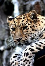 Portrait Of A Beautiful Leopard - Animal Poster Print - Wildlife Photo - Leopard