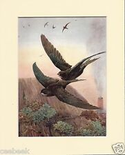 Swifts Mounted 1930s Bird Print Black Cream or White Mounts