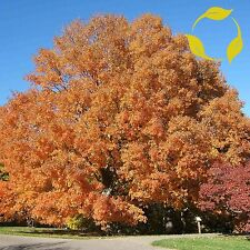 SUGAR MAPLE SOUTHERN Acer Saccharum SEEDS + EXTRA & FLAT SHIPPING