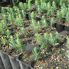 Real Majestic Blue Spruce, Seedling, Evergreen, Conifer, Christmas Tree, Plant