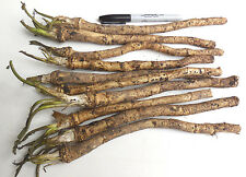 Horseradish Crowns / Roots / Plants -Easy To Grow -Hottest-Vigorous & Productive