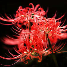 2-4 Bulbs, Lycoris Radiata, Spider lily, Lycoris Bulbs