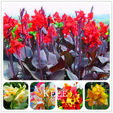 Hot Sale! 100 Pcs/Pack Beautiful flower Small canna lily seeds, Garden plant,...