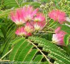 Albizia julibrissin Silk Tree Mimosa Seeds Fast Growing Profusion of Pink Blooms