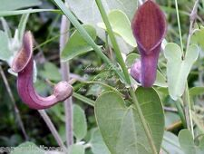 Aristolochia tagala Seeds Dutchmans Pipe Heavy Producer Aromatic Flowers