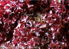 Red Leaf Lettuce Seeds Lollo Rosso Non GMO Mild Tasty Market or Home Gardening