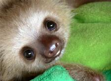 CUTE BABY SLOTH GLOSSY POSTER PICTURE PHOTO young infant funny nice sweet 1781