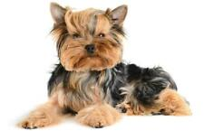 YORKSHIRE TERRIER GLOSSY POSTER PICTURE PHOTO yorkie dog puppy puppies cute 218