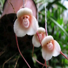 10~200PCS Monkey Face Orchid Flower Seeds Plant Seed Bonsai Home Garden New