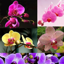 Hot New Rare 20Pcs Phalaenopsis Flower Seeds Butterfly Orchid Garden Decoration