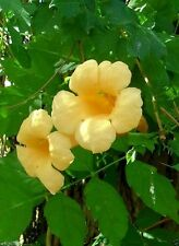Yellow Trumpet Creeper Seeds - Campsis radicans 'Flava' - Hummingbird favorite !
