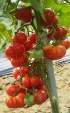 Super Rare Red Cherry Tomato RED STAR 10 or 20 Heirloom Organic Vegetable Seeds