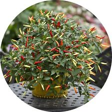 F1 Basket of Fire hot chilli seeds Chillies Pepper    GENUINE FRESH SEEDS