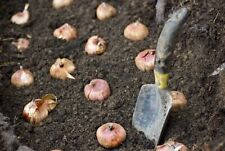 INDOOR SPRING BULB COMPOST, SOIL MIX, FOR INDOOR SPRING BULBS, ORGANIC PLANTING