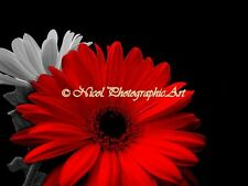 RED Gerbera Daisy Flower Black white floral Home Decor Matted Picture USA A740