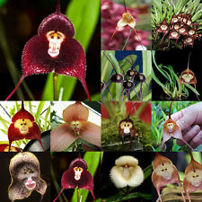 20 PCS Bonsai Decor Plant Flower Home Garden Rare Monkey Face Orchid Seeds