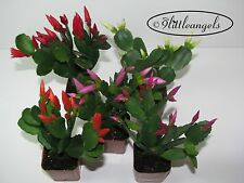 CHRISTMAS CACTUS,EASTER CACTUS, RARE, you choose what you like FROM 42 VARIETIES