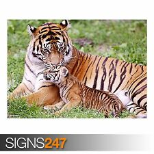 TIGER AND BABY TIGER (3472) Animal Poster -  Photo Poster Print Art * All Sizes