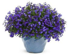 Lobelia Seeds Cobalt Blue/Blue Carpet)showy,dependable edging plant,perennial