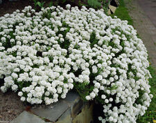 CANDYTUFT SEEDS -  hardy perennial ground cover