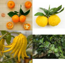"Exotic Citrus (15"" or 32"" tall) Trees Buddha's Hand Calamondin Yuzu Round Lime"