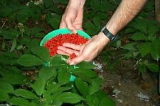 Stratified American Ginseng Seeds, Ready To Plant - Top Quality- Grow your own !