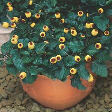 Acmella oleracea Seeds - Toothache Plant - Tropical Perennial- Native to Brazil