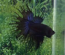 #94 Thai Import Fancy Black Blue Orchid Male CT Crowntail Betta Live Fish