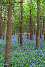 Bluebells, Pine Trees, Forest, Wood, Art Photograph, Mounted Print, Cards