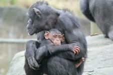 BABY CHIMP & MOTHER HUGGING GLOSSY POSTER PICTURE PHOTO cuddling cute sweet 1467