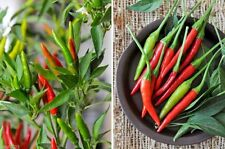 THAI RED HOT CHILI PEPPER,,Chili, Hot,Heirloom pepper - 50-1000 Seeds.