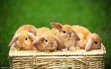 CUTE LITTLE RABBITS GLOSSY POSTER PICTURE PHOTO bunny bunnies floppy ears 1076
