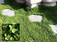 Dichondra Seed (Dichondra Repens) Ground Cover,1 lb of seed per 500 square feet.