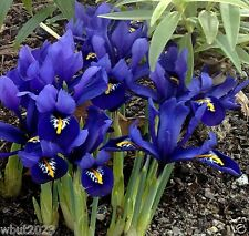 Dwarf Iris reticulata Harmony,Sweetly scented flowers,excellent for rock gardens