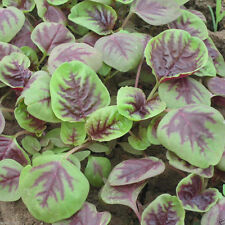 CHINESE SPINACH SEEDS- Edible Amaranth, Red Stripe Leaf -Jamaican Red Calla-loo!