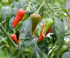 Fish Pepper Seeds • Hot- Capsicum annuum - Heirloom Variety, Non Treated Seeds,