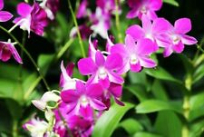 DENDROBIUM & BRASSAVOLA ORCHIDS COMPOST, ORCHID BARK SUBSTITUTE, ORCHIDS SOIL