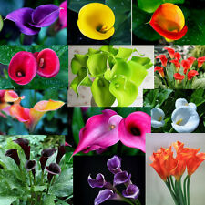 1000 colorful calla lily seeds rainbow rare plants flowers