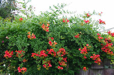 Campsis radicans Seeds,(Red Trumpet Vines ) - Hummingbird favorite !